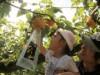 周南・須金でブドウ・ナシ園営業開始へ 「なし・ぶどう祭」も