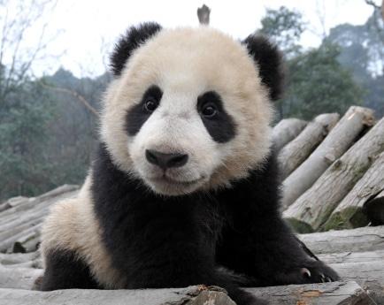 中国・シンガポール国交樹立20周年を記念して、2011年から10年間貸与されることが決定したジャイアントパンダ