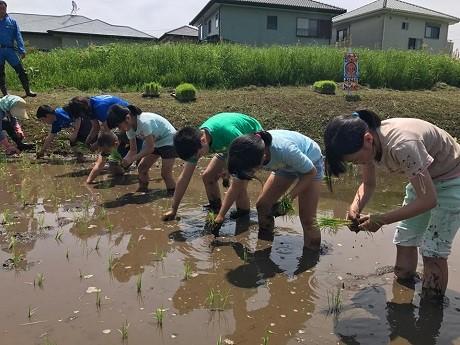 (写真)一列に並んで田植えをする児童たち