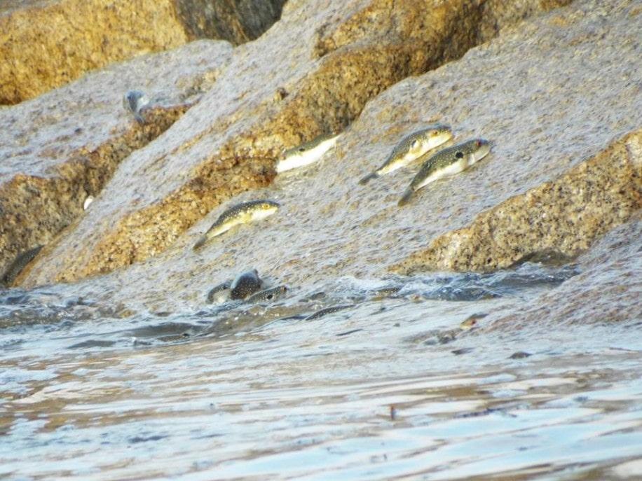 勝浦の興津海岸で「クサフグの産卵観察会」 波打ち際で産卵を観察