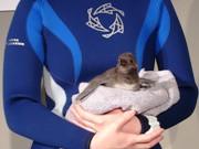 マゼランペンギンの赤ちゃんに名前を-「すみだ水族館」が一般公募