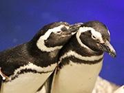 すみだ水族館でペンギンを眺めながらハンドマッサージ ポーラとコラボ