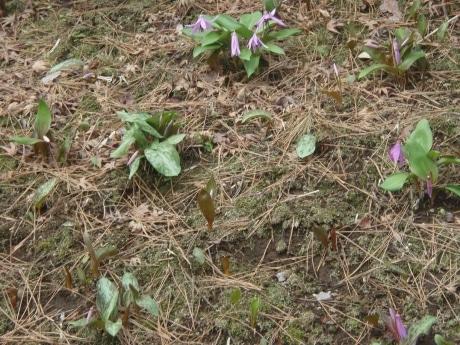 殿ヶ谷戸庭園のカタクリの花