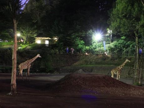 夜のアフリカ園大放飼場で見られるキリンの群れ