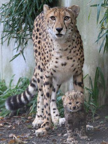 母親のキキョウとキングチーターの赤ちゃん