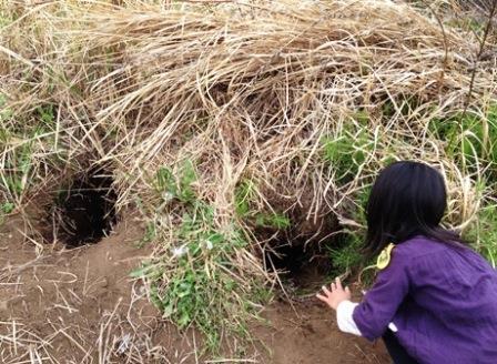 近隣の畑では、キツネの巣穴と思われる穴が発見されている