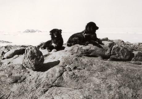 第3次日本南極地域観測隊が撮影したタロ・ジロ。画像提供:国立極地研究所
