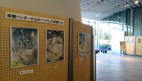 花みどり文化センター(昭和記念公園内)で展示中の小山さんの珍樹フォト。