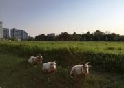 立川駅北側「みどり地区」でヒツジとヤギが勤務中 除草作業に励む