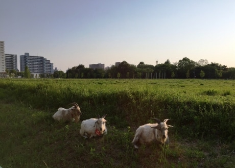 ひと休み中のヤギたち