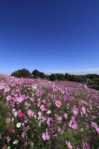 「花の丘」ではドワーフセンセーションが見頃を迎える