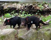 多摩動物公園で絶滅危惧種「タスマニアデビル」公開 アジアで唯一