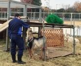 また来春、立川駅北側「みどり地区」のヤギ冬休みに