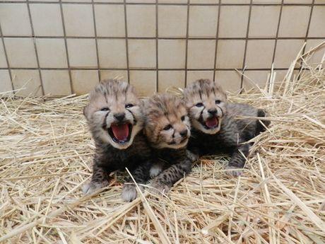 多摩動物公園でチーターの赤ちゃん誕生 雄雌3頭すくすくと
