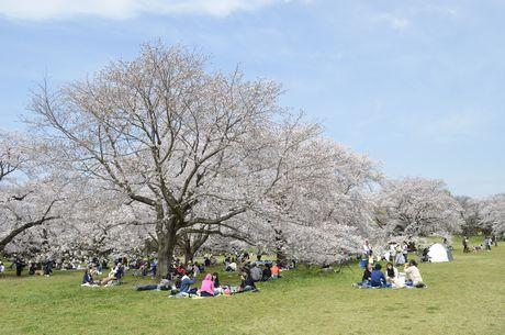昨年の昭和記念公園内桜の様子