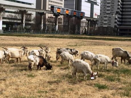 「着任」早々、仕事に励むヤギたち