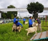 立川駅北側「みどり地区」のヤギ帰る 拍手で見送り