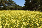 昭和記念公園で「コスモスまつり」 11月上旬まで次々に開花