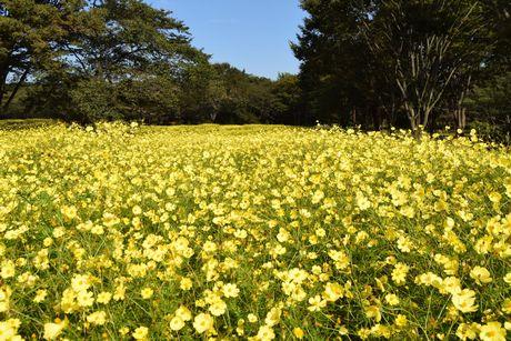見頃を迎えた東花畑のキバナコスモス