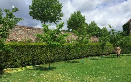 ルッカ市城壁沿いの寄贈された櫻子 &copy日伊櫻の会