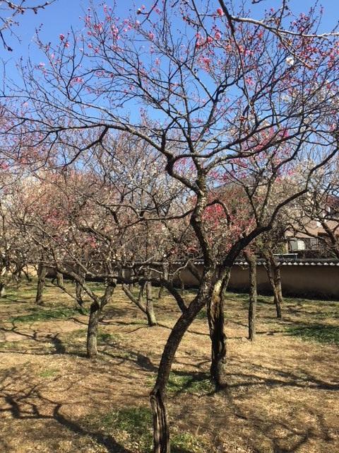 現在のところ3分咲きの梅林