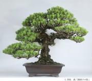 昭和記念公園で「春風盆栽展」 徳川慶喜遺愛の盆栽など100点以上展示