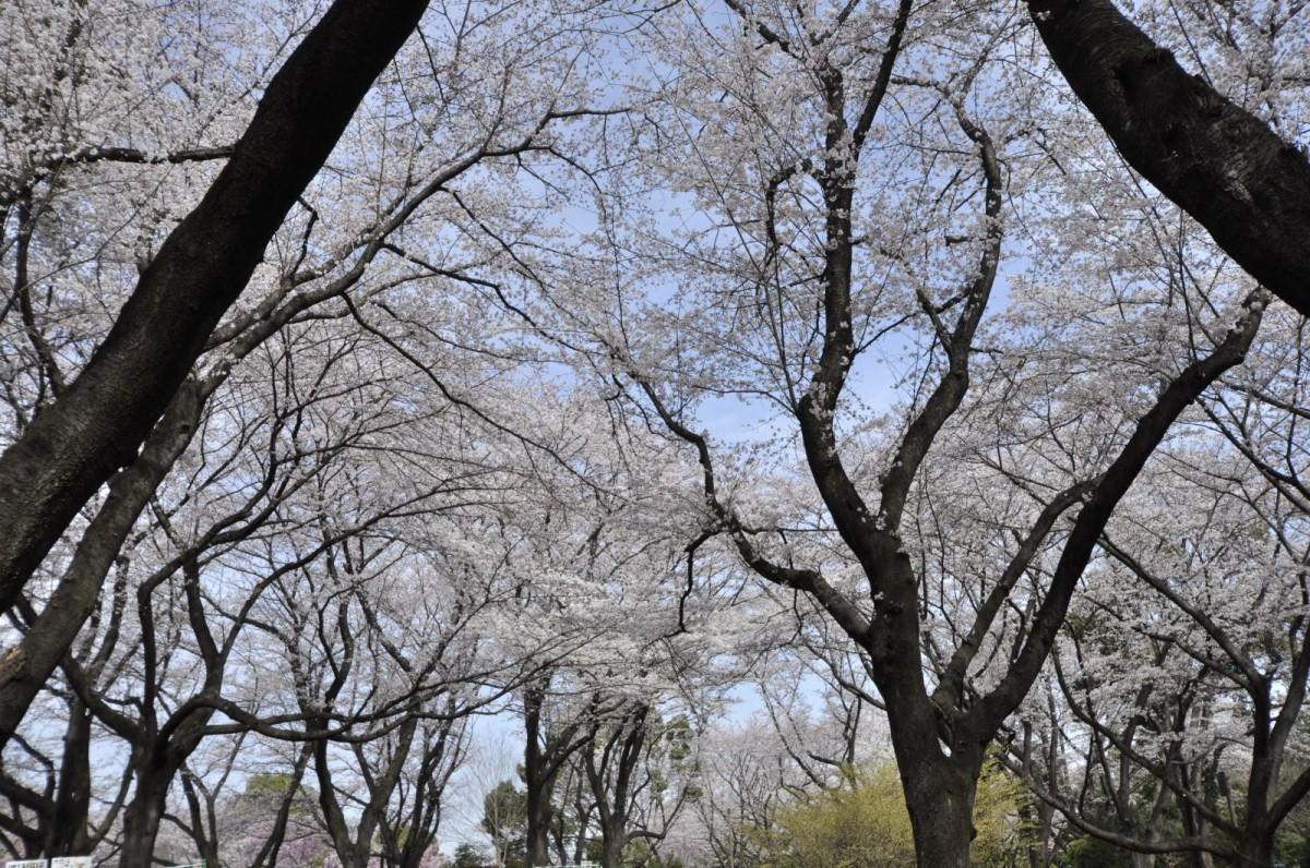 3月27日のふれあい橋下の桜の様子