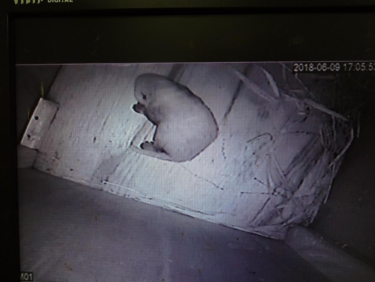 誕生したレッサーパンダの産室内の巣箱での様子