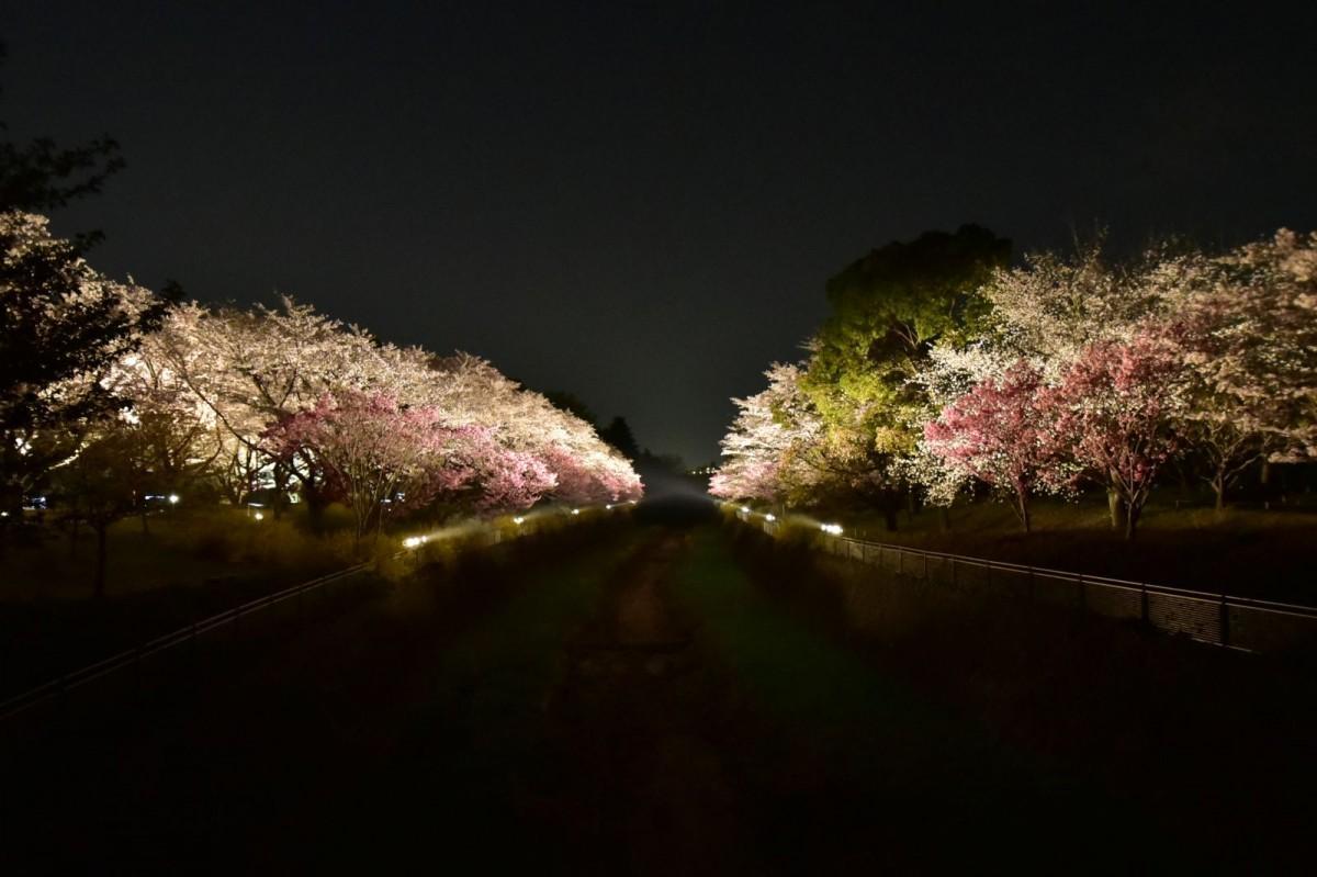 昨年の夜桜のライトアップの様子