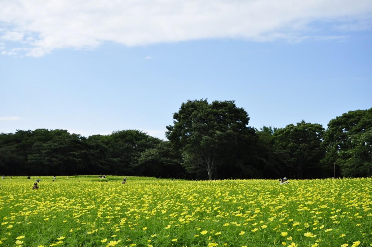 原っぱ東花畑のキバナコスモス・レモンブライトは今が見頃