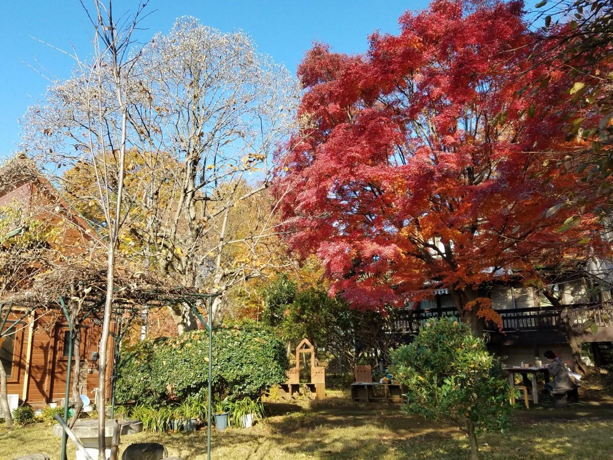紅く色づく大きなモミジの木