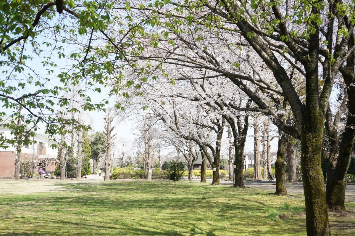 ソメイヨシノは今が満開 50種類の桜が4月中旬まで日々開花