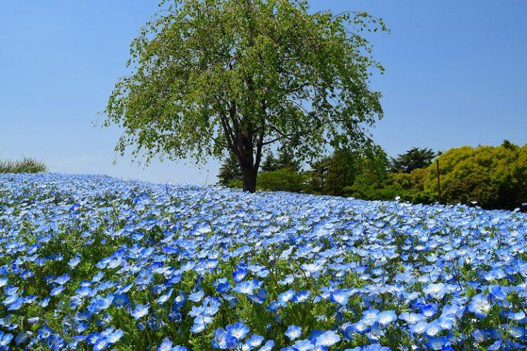 一面ブルーのネモフィラの花畑
