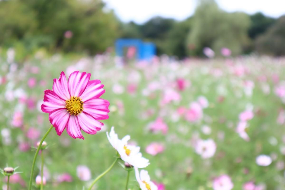 花の丘北花畑(10月11日撮影)