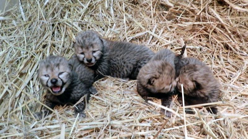 多摩動物公園で生まれたチーターの赤ちゃん4頭