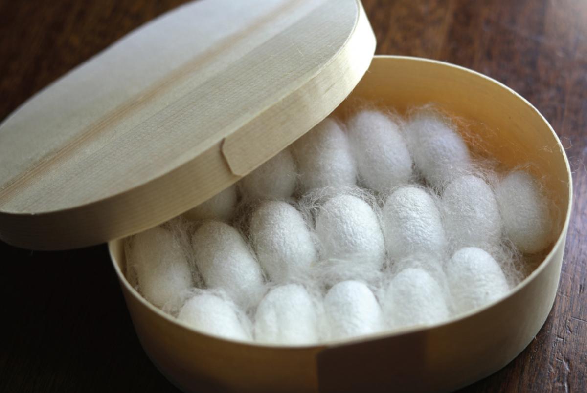 カイコの幼虫は約1カ月で絹糸を産生して蛹(さなぎ)の繭を作る
