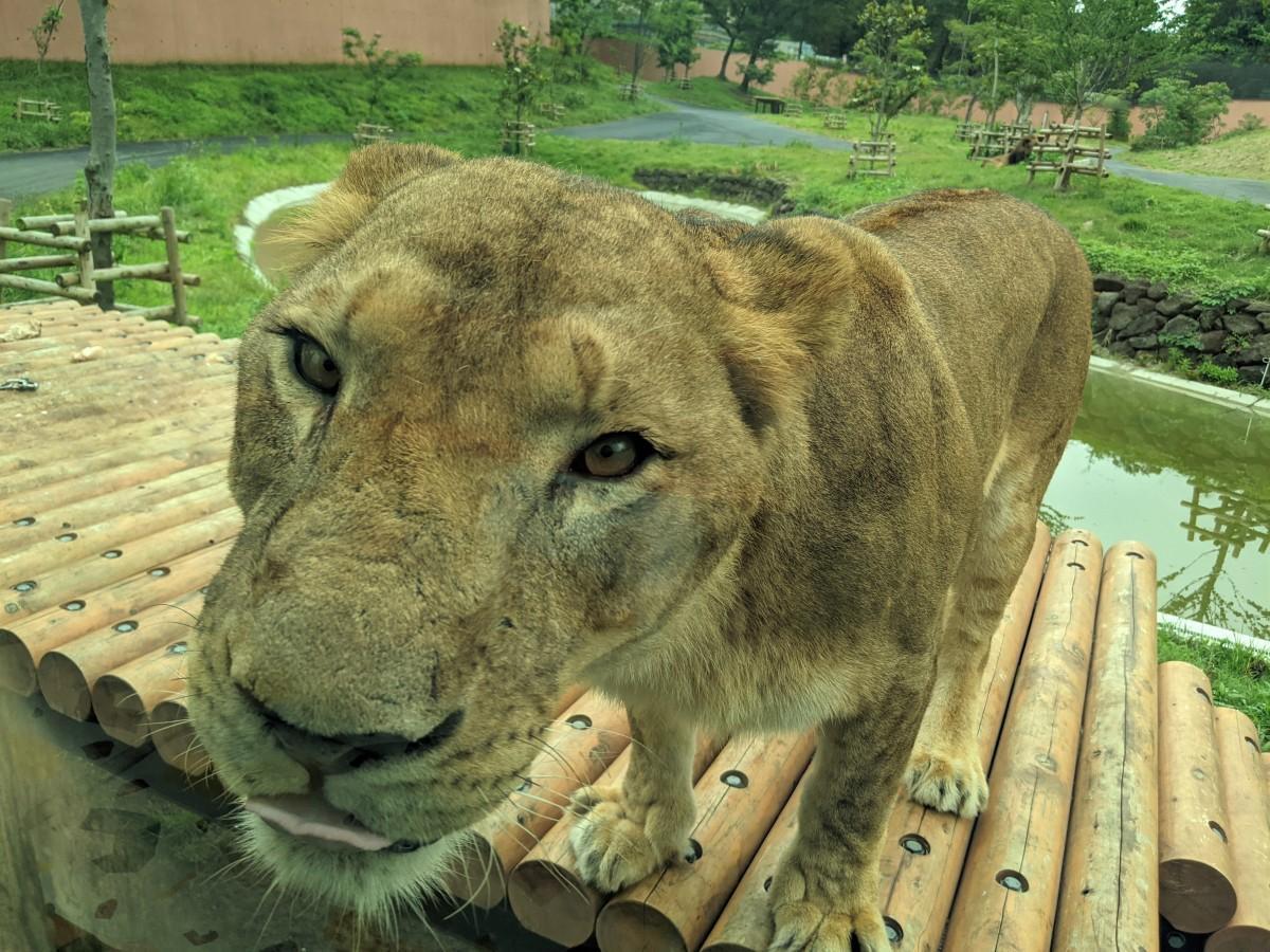 バスからはライオンを間近に見ることができる