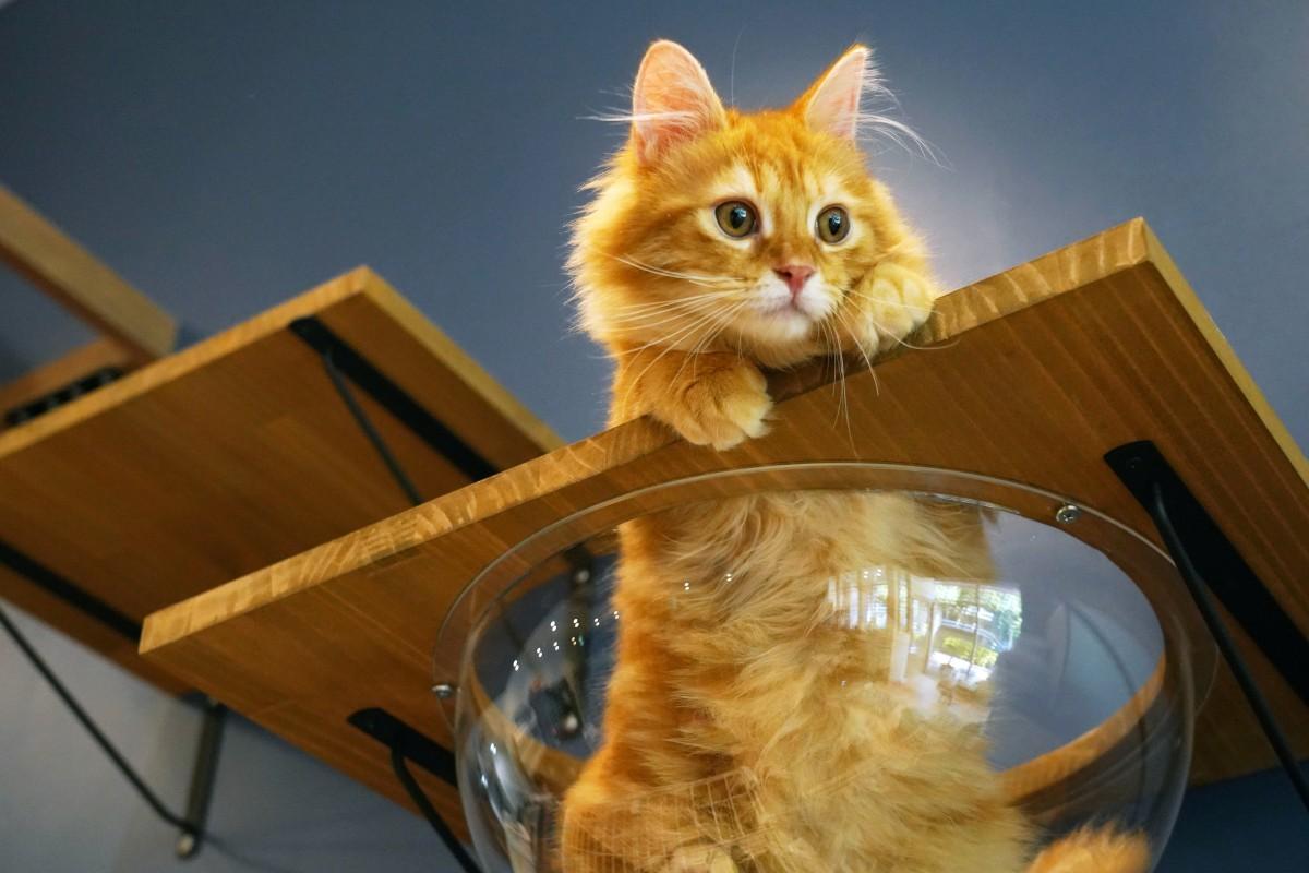 諏訪通りの保護猫カフェ「BAKENEKO CAFE」の看板猫「なめこ(サイベリアン・オス)」