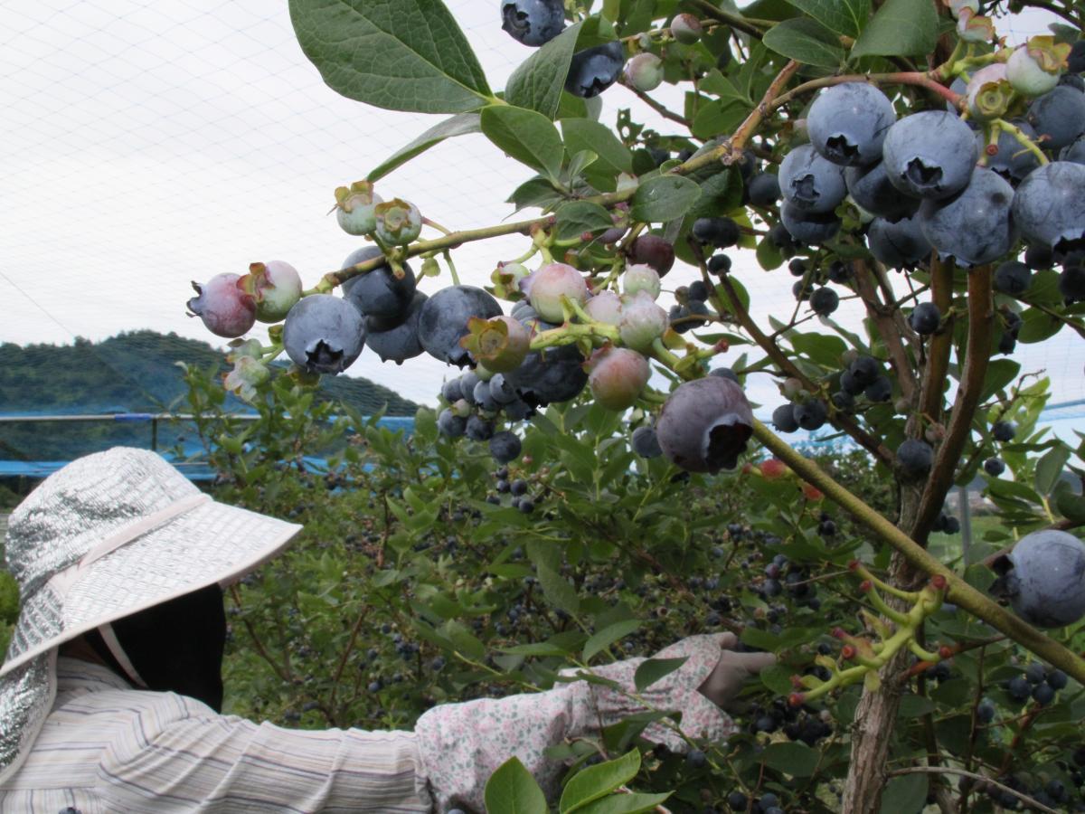 高砂長尾地区のブルーベリー収穫が最盛期 無農薬で「滋味な味」