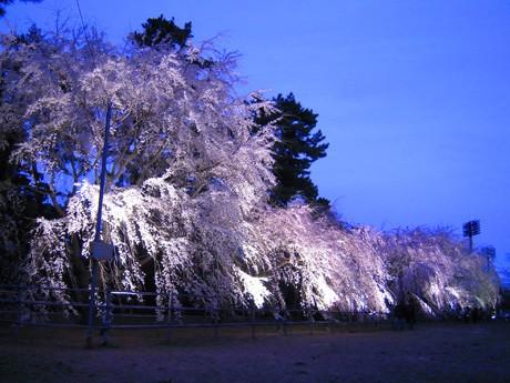敷島公園、ライトアップ中のしだれ桜。強風のため枝が大揺れ