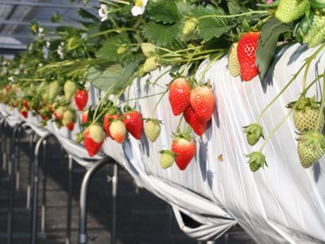 高崎前橋で「イチゴ狩り」始まる-猛暑で花遅れるも、味・形例年並みに