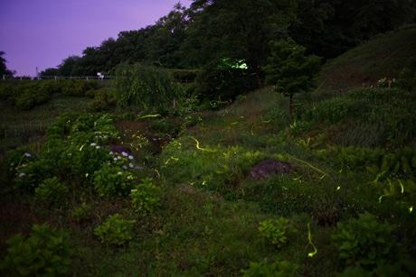6月8日の荻窪公園のホタル
