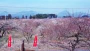 東日本一の梅の産地 高崎・箕郷で梅まつり始まる 暖冬で開花早まる