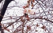 前橋でサクラ開花 平年より8日早く標本木に6輪 前橋地方気象台