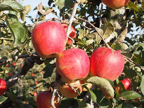木村農園では6品種約1000本のりんごを栽培している。写真は「陽光」