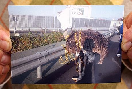 捕獲されたダチョウ(写真=群馬県警察本部高速道路交通警察隊貸し出し)