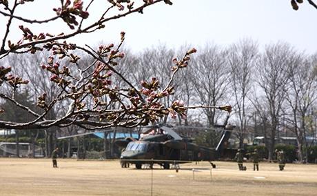 30日のサクラの状況、つぼみがふくらみ、ちらほら開花も。奥は「UH-60JA」