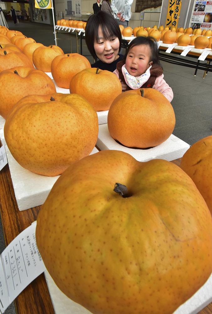 3キロに迫る梨は子どもの頭くらいの大きさに