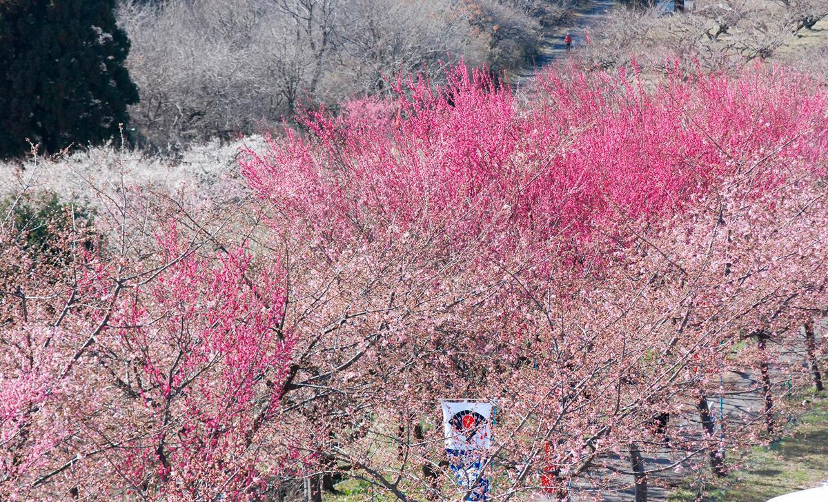 箕郷梅林、3月12日撮影