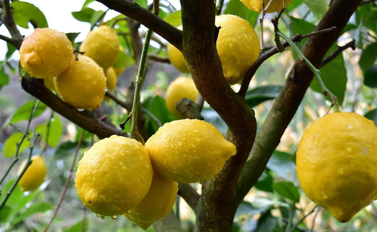 60年以上の歴史を持つ小越農園のレモン
